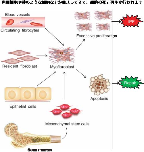 細胞の再生